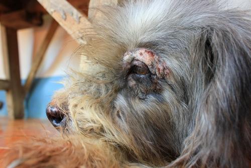 Juckreiz bei Hunden führt zu Verletzungen.