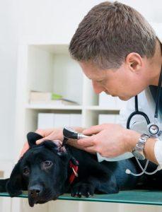 Juckreiz bei Hunden sollte man nur vom Tierarzt behandeln lassen.