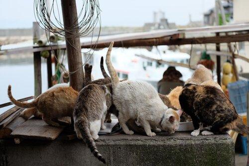 Katzeninseln in Japan: Aoshima