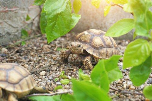 Lebensraum der Spornschildkröte