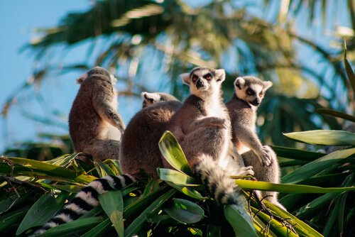 Lemurs leben in Madagaskar