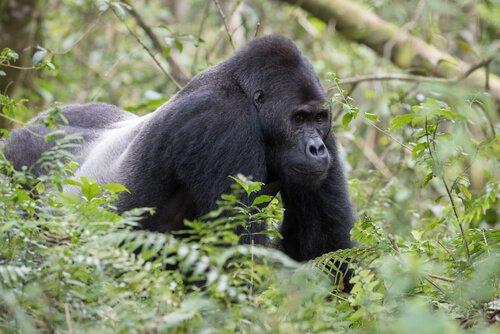 Merkmale des östlichen Gorillas