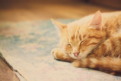 Musik für Tiere entspannt die Katze