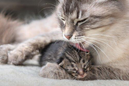Mutterkatze mit Jungtier