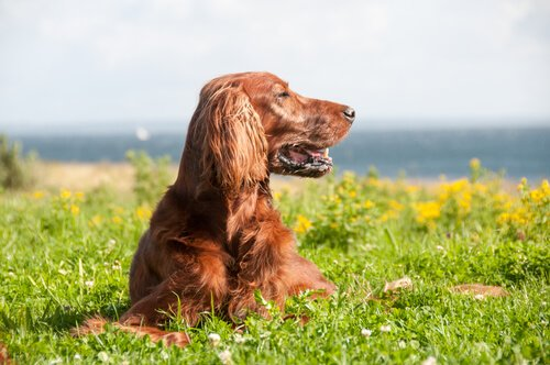 Pflege des Irish Red Setters
