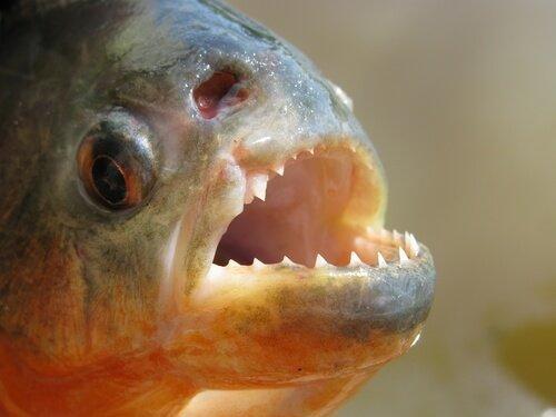 Lerne den gefürchteten Piranha Fisch kennen