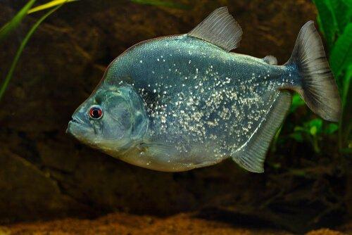 Regenbogenfarbener Piranha