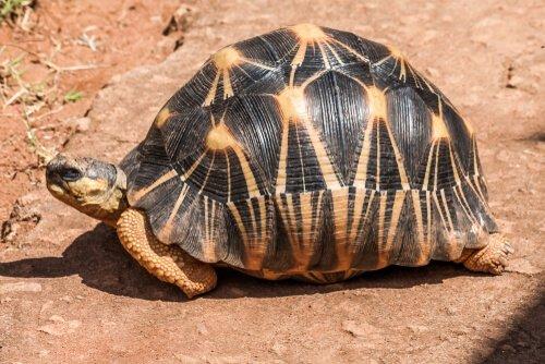 Schildkröte aus Madagaskar