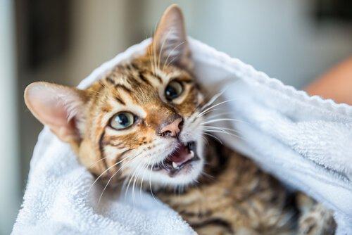 Wie kann man den schlechten Geruch einer Katze entfernen, ohne sie zu baden?
