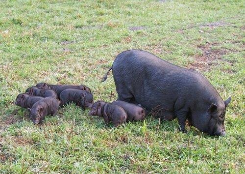 Auch Schweine sind sehr intelligent