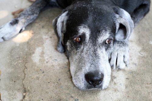 Kognitives Dysfunktionssyndrom bei älteren Hunden