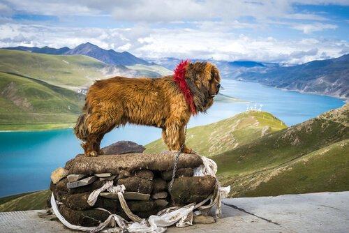Der tibetanische Mastiff ist ein prächtiges Tier
