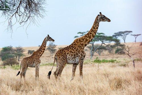 Die Giraffe ist eines der Tiere, die am wenigsten schlafen