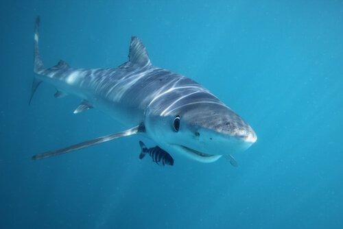 Der Hai ist eines der Tiere, die am wenigsten schlafen