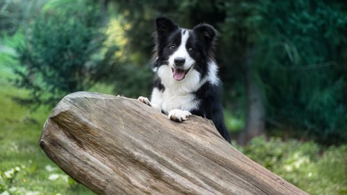Training des Border Collies: eine der intelligentesten Hunderassen