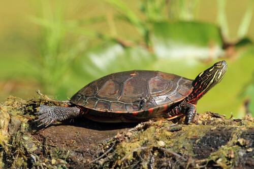 Mittelländische Zierschildkröte
