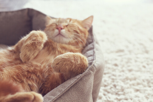Wie lange dauert die Raunze bei Katzen