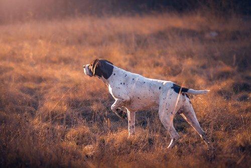 Windhunde gelten ebenfalls als Jagdhunde