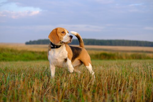 Beagle im Feld