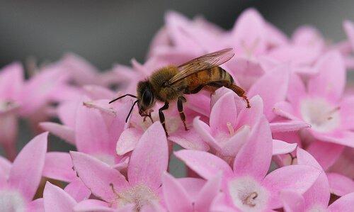 Biene sitzt auf rosa Blüte