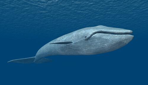 Der Gesang der Wale als Futter-Ruf