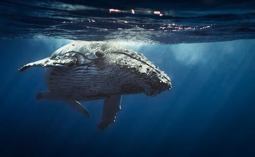 Der Gesang der Wale wird unterschiedlich erzeugt.