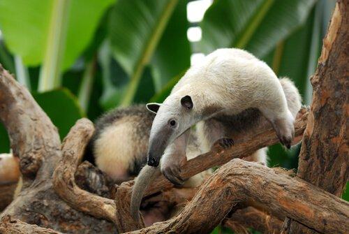 Der Zwergameisenbär gehört zu den Tierarten, die auf Bäumen leben.
