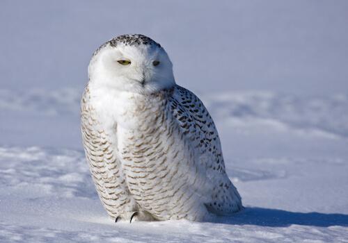 Die Schnee-Eule: ein majestätischer Vogel
