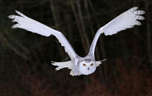 Die Schnee-Eule kann eine Flügelspannweite von bis zu 1,58 Meter erreichen.