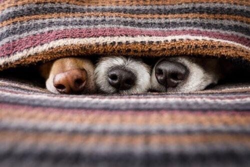 Drei Hundenasen schauen unter einer Decke hervor