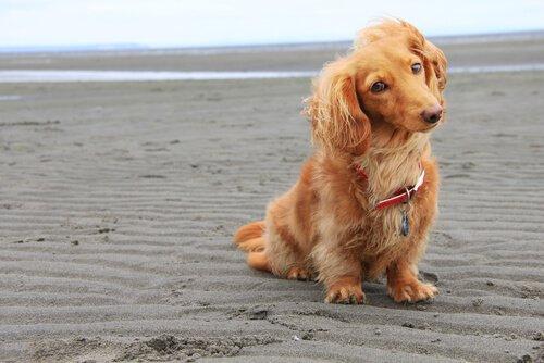Entzückender Langhaardackel sitzt am Strand
