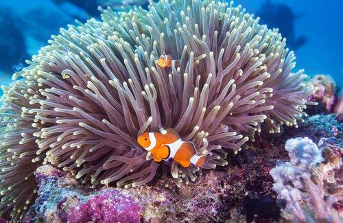 Fauna des Great Barrier Reef: Clown-Fisch