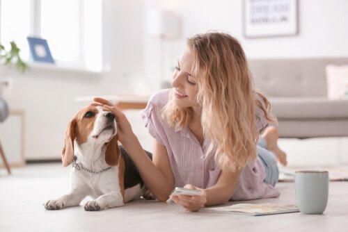 Frau streichelt Beagle im Wohnzimmer