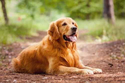 Golden Retriever liegt auf dem Waldboden und hechelt