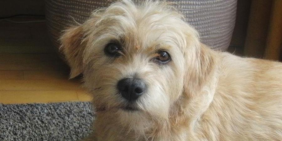 Holländischer Smoushund: Merkmale und Verhalten