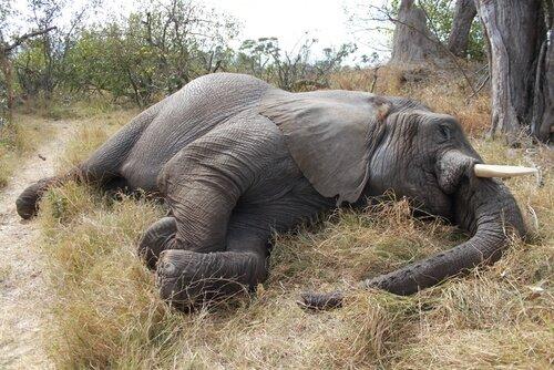 In Botswana 100 Elefanten getötet