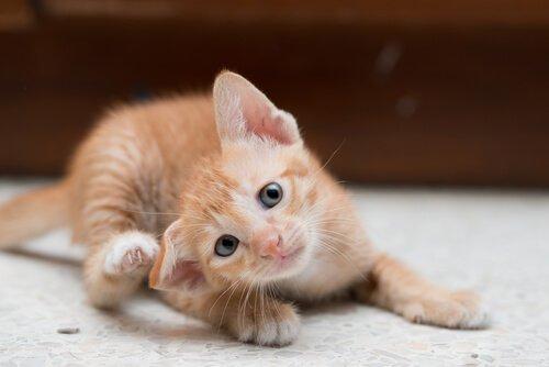 Kätzchen kratzt sich hinterm Ohr