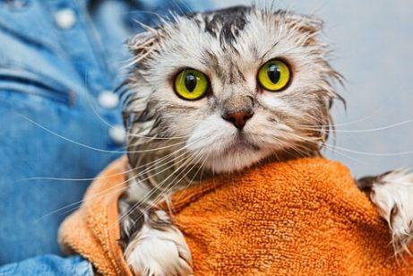 Katze nach Bad