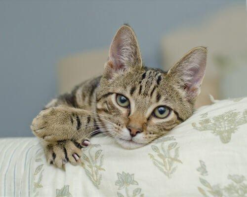 Wie funktionieren die gefürchteten Katzenkrallen?