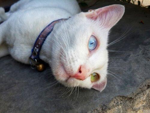 Die Khao Manee Katze: das weiße Juwel