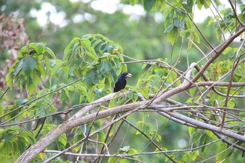 Krähenarten: Buntschnabelkrähe