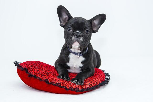 Lustiger Hund sitzt auf Herzkissen