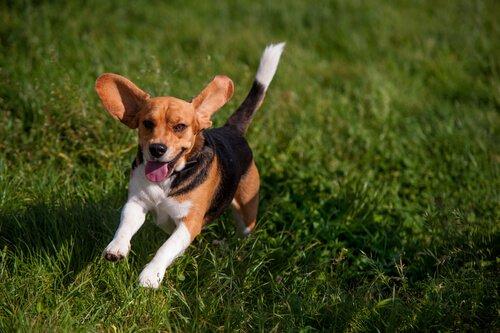 Schwanzarten bei Hunden: aufrechter Schwanz