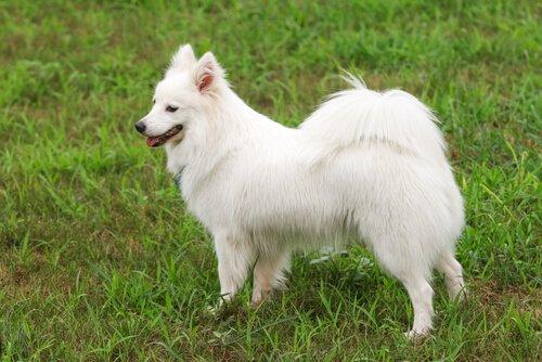 Schwanzarten bei Hunden: eingerollter Schwanz