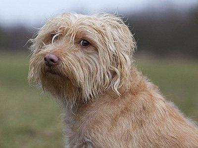 Smoushund schaut verwegen in die Kamera