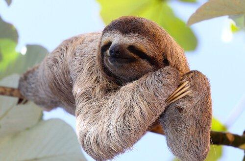 Tierarten, die auf Bäumen leben: das Faultier ist eines der bekanntesten.