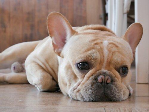 Hund schaut traurig vor sich hin