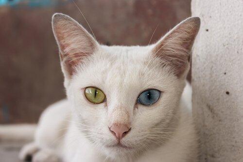 Verhalten der Khao Manee Katze
