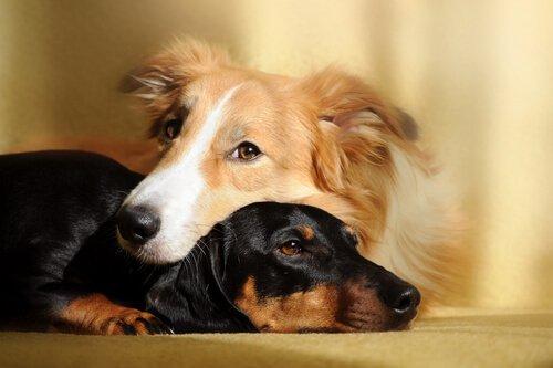 Vorteile von zwei Hunden im Haushalt