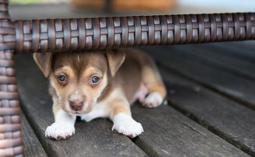 Wenn der Hund Angst vor Fremden hat, ist er möglicherweise im Welpenalter nicht richtig sozialisiert worden.